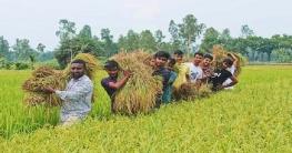 দরিদ্র কৃষকের ধান কেটে দিল বগুড়া জেলা ছাত্রলীগের নেতাকর্মীরা