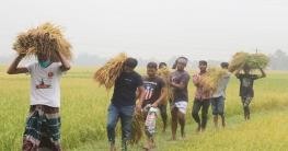 নন্দীগ্রামে কৃষকের ধান কেটে বাড়ি পৌঁছে দিল ছাত্রলীগ
