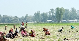 বগুড়ার শেরপুরে আলুর বাম্পার ফলনে লাভবান কৃষক