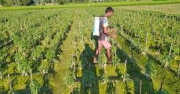 নন্দীগ্রামে বাম্পার ফলনের আশায় মরিচ চাষে ব্যস্ত কৃষক