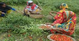 বগুড়ার চরাঞ্চলে মরিচের বাম্পার ফলন, ভালো দাম পেয়ে খুশি কৃষক