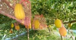 শেরপুরে মাচায় হলুদ তরমুজ চাষে সাড়া ফেলেছে কৃষি প্রেমি সালাম