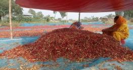 বগুড়ায় ৩০০ কোটি টাকার মরিচ উৎপাদনের আশাবাদ