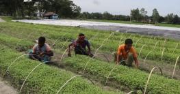 শাজাহানপুরের নার্সারি পল্লীতে সবজির চারা উৎপাদনে বিপ্লব ঘটেছে